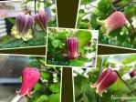 壷咲きクレマチス