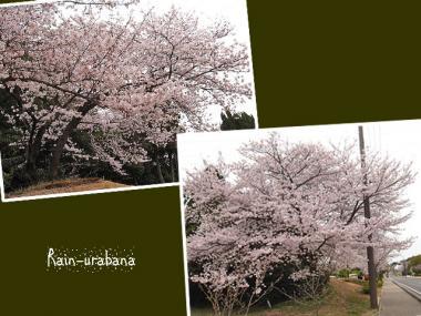 桜ですよぉ♪