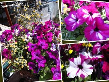 気温・肥料・光が花色の決めてらしいですぜ!