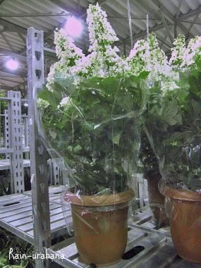 尺鉢カシワバアジサイ