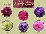 八重咲きペチュニア・バニラシリーズ