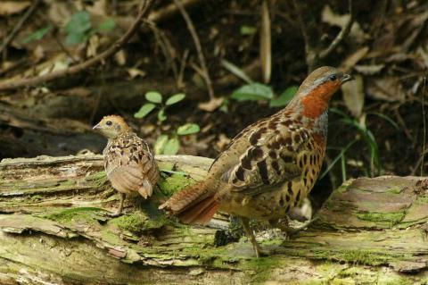 コジュケイの成鳥と幼鳥