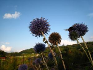 神石高原町の花「ルリタマアザミ、うらじろひごたい」キク科、と「マルハナバチ、丸花蜂」1