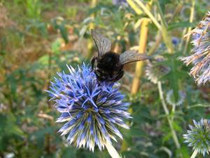 神石高原町の花「ルリタマアザミ、うらじろひごたい」キク科、と「マルハナバチ、丸花蜂」2