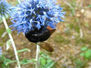 神石高原町の花「ルリタマアザミ、うらじろひごたい」キク科、と「マルハナバチ、丸花蜂」3