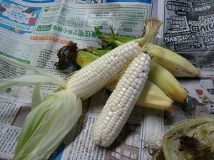 「もちきび」、小さなトウモロコシ、2