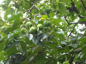 2009.08.23.「柿」、2