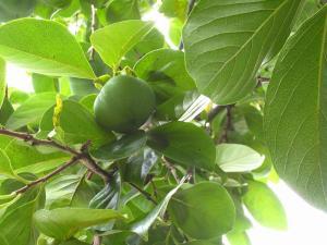 2009.08.23.「柿」、1