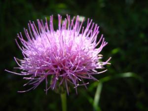 「ニホンアザミ」、在来種、1