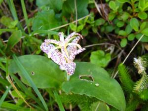 2009.8.、「ヤマジノホトトギス・山路の杜鵑草」、ユリ科ホトトギス属、8~10月、(セトウチホトトギスには花柱に斑点)、1