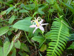 2009.8.、「ヤマジノホトトギス・山路の杜鵑草」、ユリ科ホトトギス属、8~10月、(セトウチホトトギスには花柱に斑点)、2
