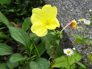 「オオマツヨイクサ」、アカバナ科マツヨイクサ属、アメリカ原産の帰化植物、宵待草ではない、1