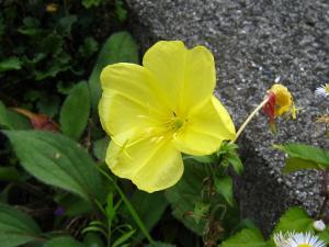 「オオマツヨイクサ」、アカバナ科マツヨイクサ属、アメリカ原産の帰化植物、宵待草ではない、