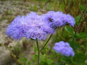 「アゲラータム」、秋の花、1