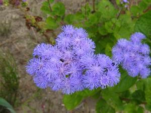 「アゲラータム」、秋の花、2