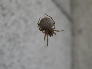 2009.9.『クモ・蜘蛛』、1、「オオヒメグモ」