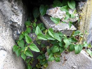 「自然薯・山芋・ヤマイモ」、「花」、1