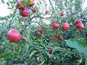 「りんご」、2009.9.、1