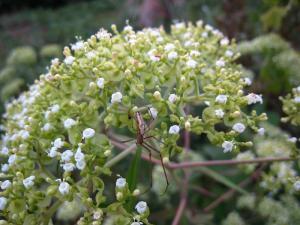 秋の花「オヨコエシ」、2009.9.2、