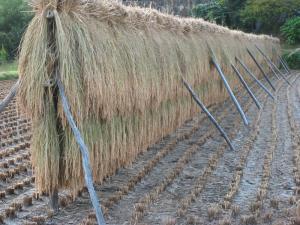 「稲はで」、2009.9.、門田原