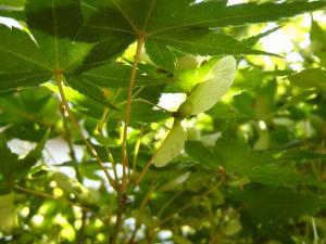 「カエデ・楓、(モミジ・椛・紅葉とも)の翼果」、2009.9.・倉敷中央病院、4