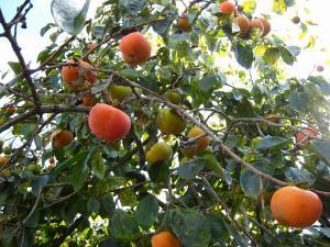 「カキ・柿」2009.9.・油木、
