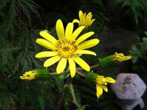 我が家の前庭の「斑入りツワブキの花」、2