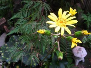 我が家の前庭の「斑入りツワブキの花」、3