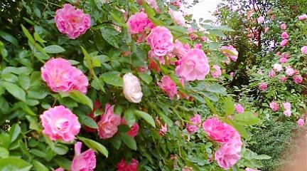 20110517高島屋バラ