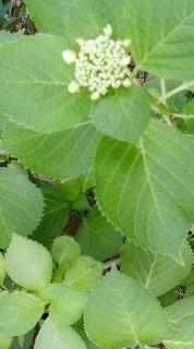 20110527紫陽花 つぼみ