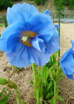 s 碧いケシの花
