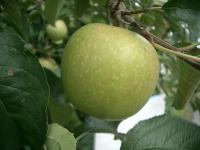 20100913 Apple Aomori2004-3