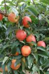 20100914 apple1