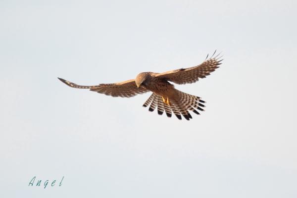チョウゲンボウ(224)