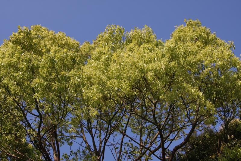 夏の黄金木