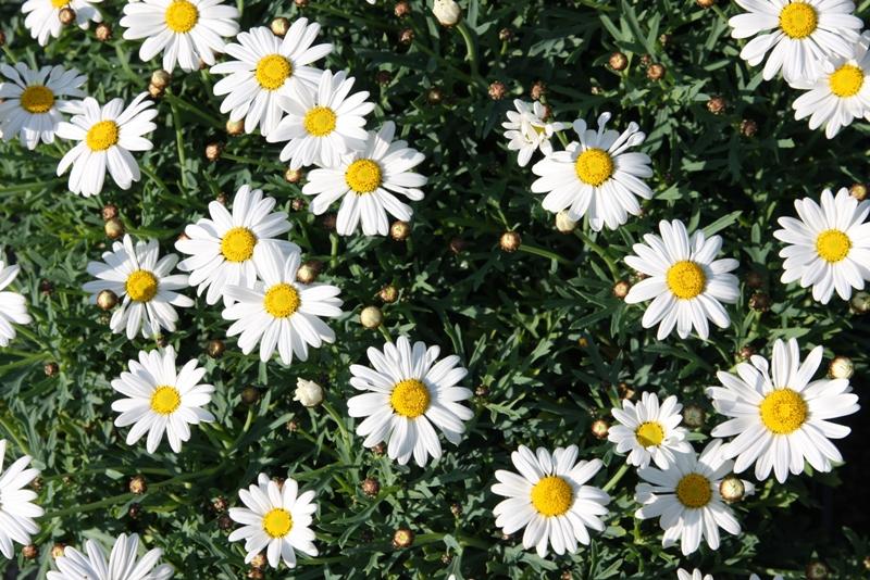 咲いたぁ咲いたぁマーガレットの花が~