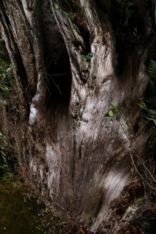 春待つ樹肌