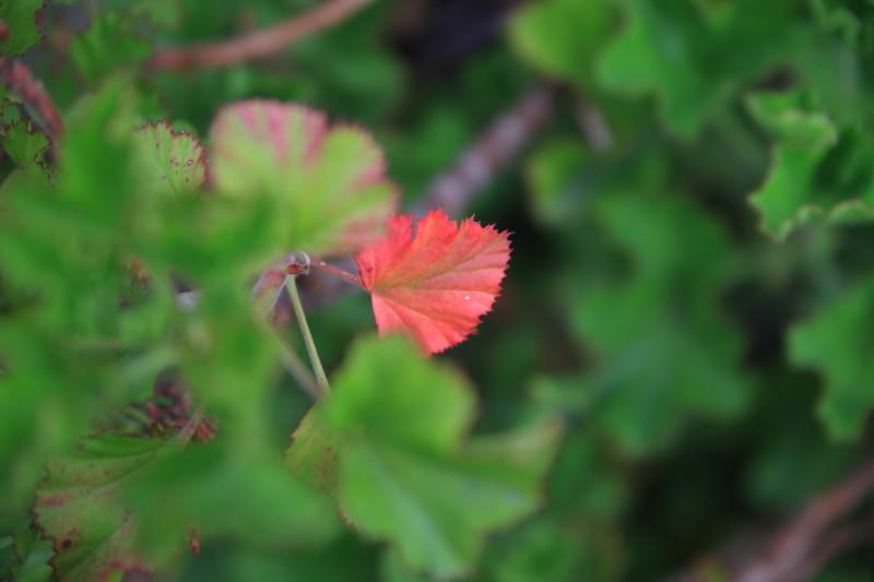 春の紅葉 がんばってるね