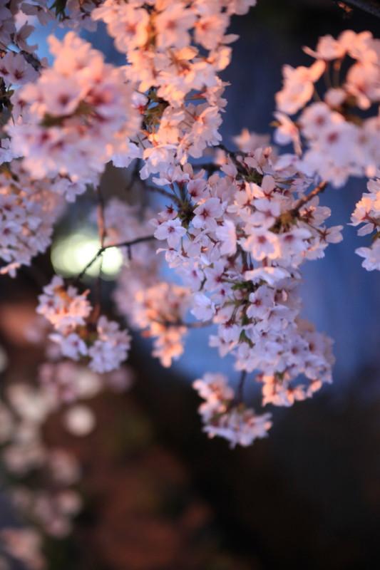 夜桜の下で