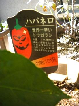 ベランダ菜園4