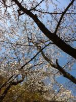 2011.4.13桜