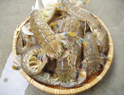 蝦蛄(しゃこ)生