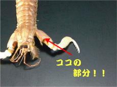 蝦蛄(しゃこ)爪の紹介