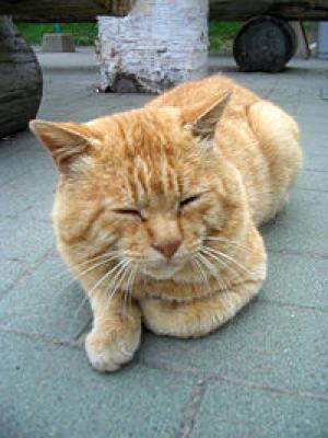 200px-オシンコシンの滝の猫.JPG
