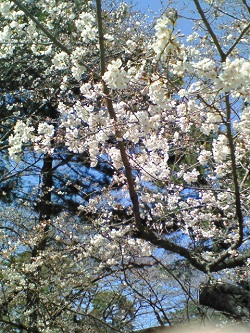 omiya-sakura.jpg