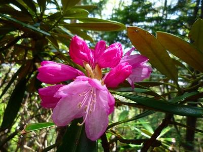 山頂周辺ではアズマシャクナゲが色鮮やかな花を咲かせていました