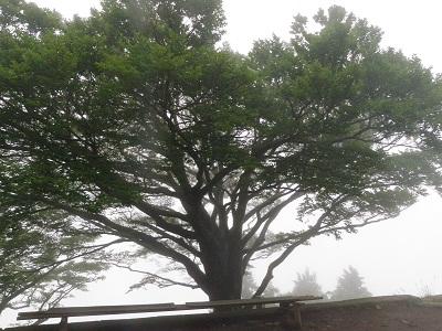 110626大山山頂雨降りの木