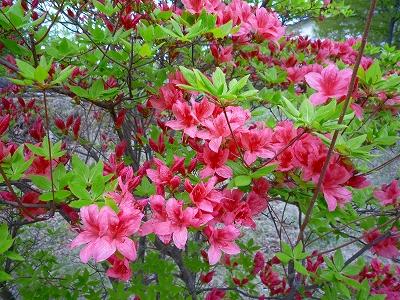 中禅寺湖畔ではヤマツツジも咲き始めていました