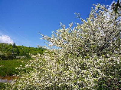 戦場ヶ原のズミ(コナシ)の花