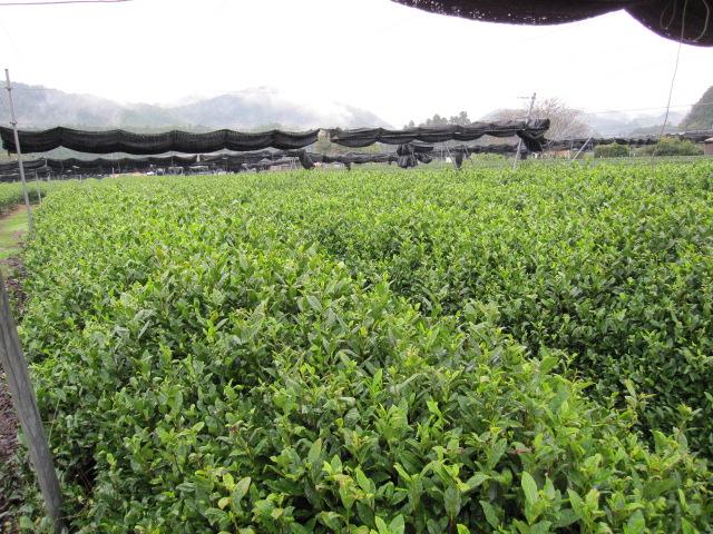 雨降りの茶園2